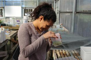 Student uses tweezers to pick plant matter from a conatiner in a greenhouse
