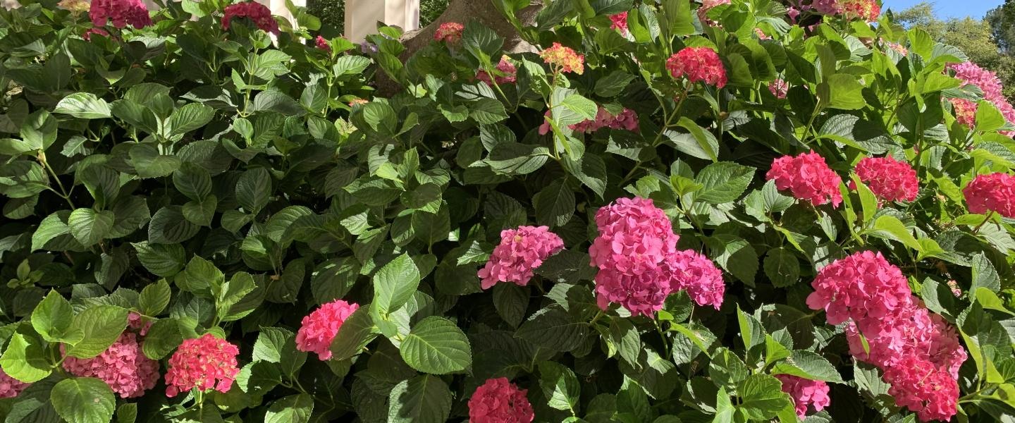Pink hydrangeas surrounded by their bright green leaves